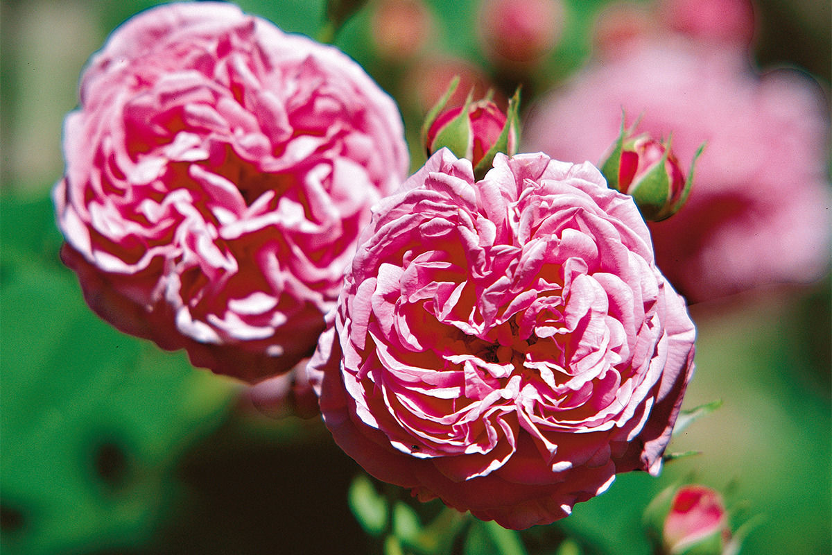 Rose der Sorte Louise Odier