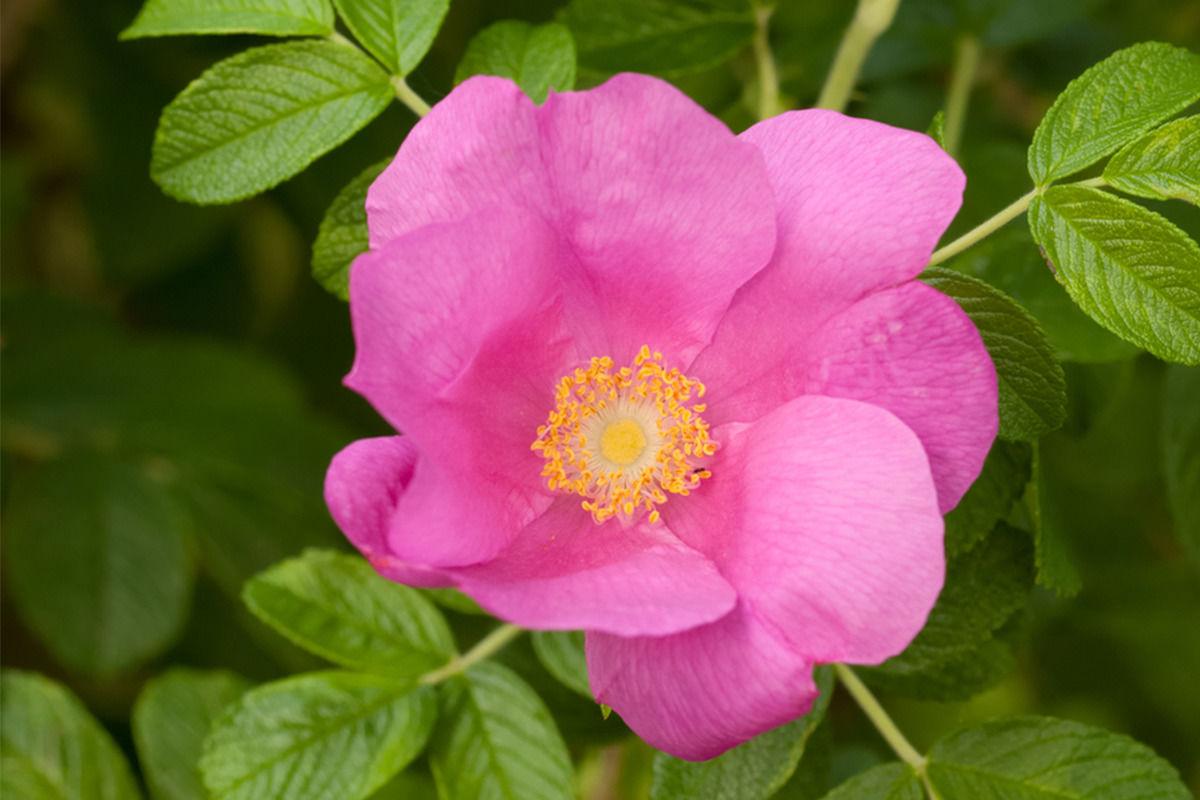 Rose Sweet Briar