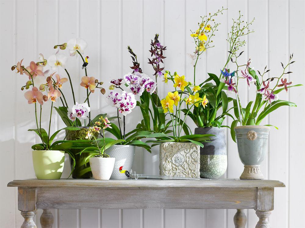 Rendezvous Mit Orchideen