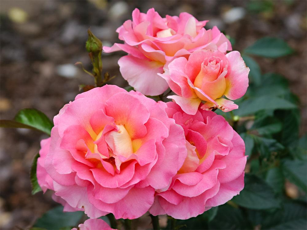 Rose Pink Paradise